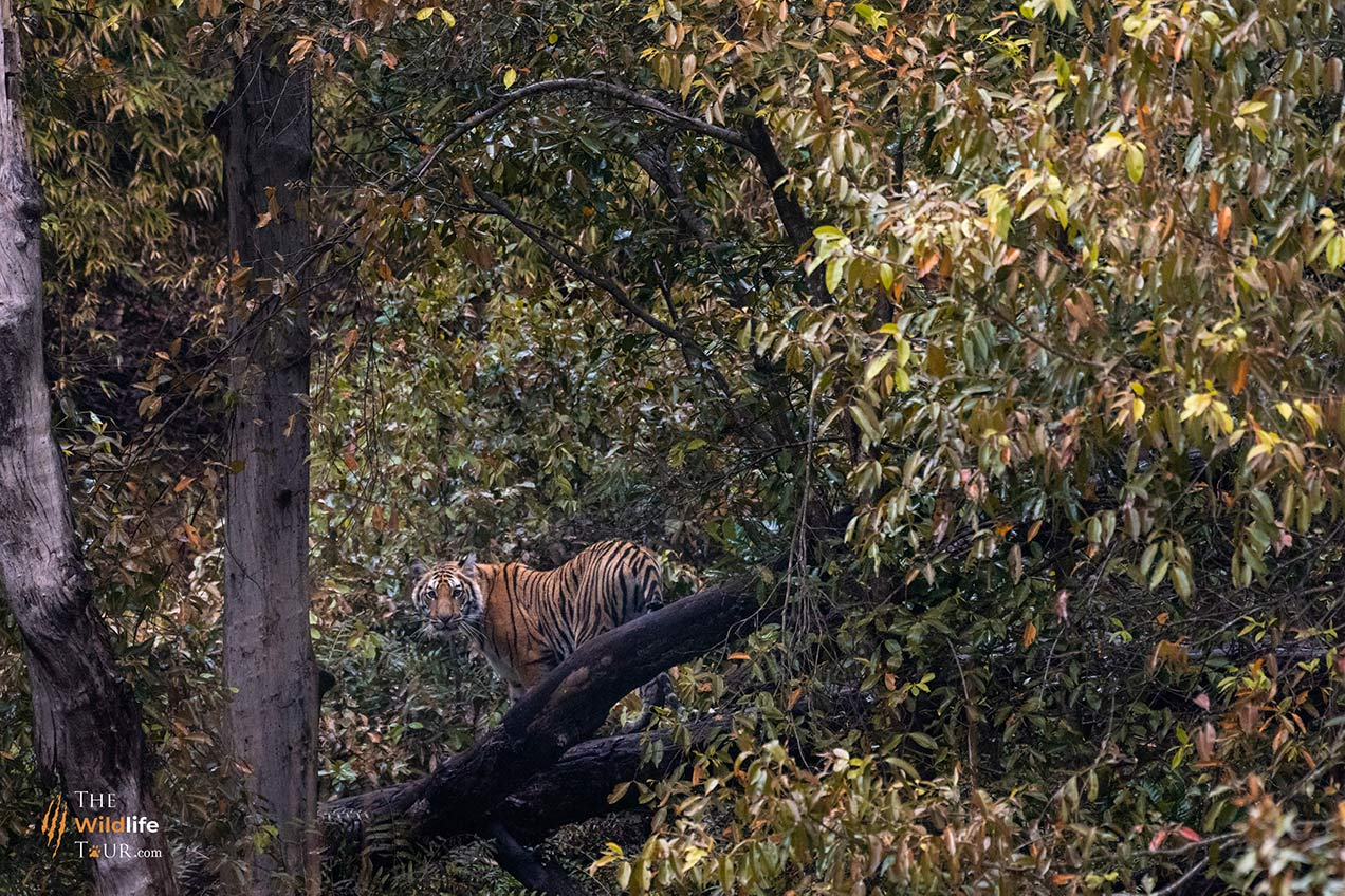 tiger-safari-India-1