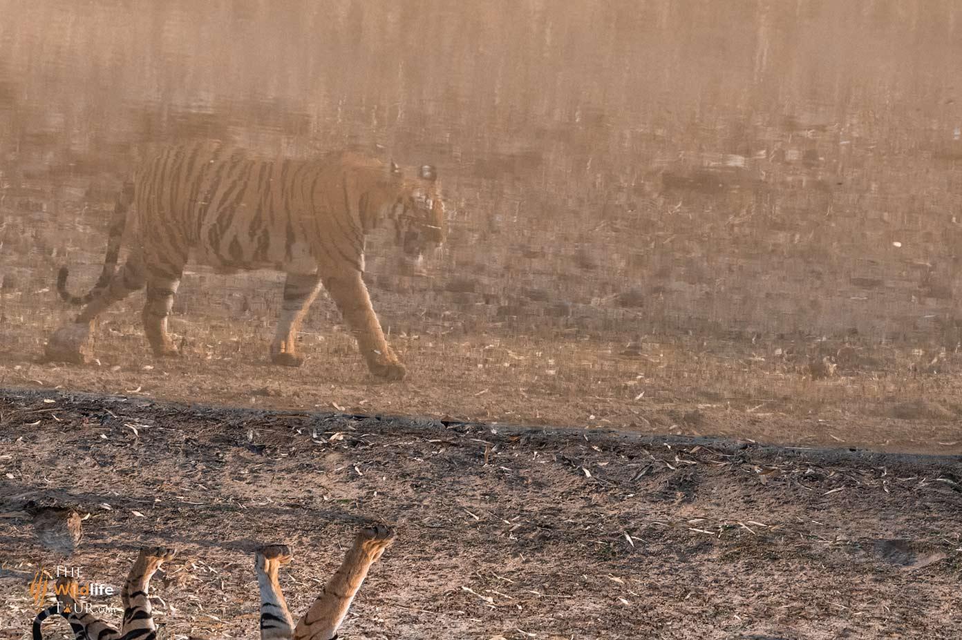 tiger-safari-India-13