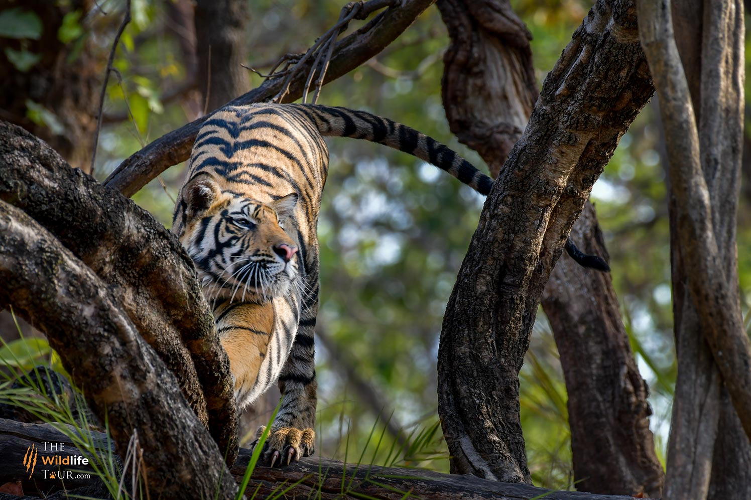 Tiger safari India | wildlife Tour of India |  wildlife safari India  |