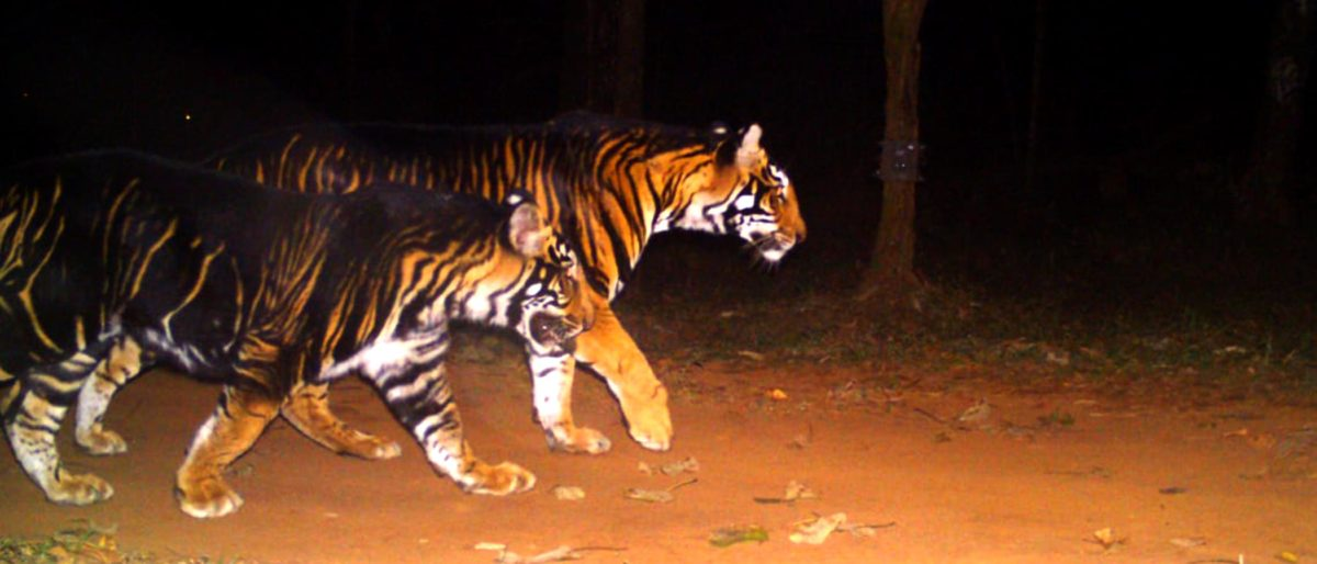 Black Tiger India | Black Striped Tiger India