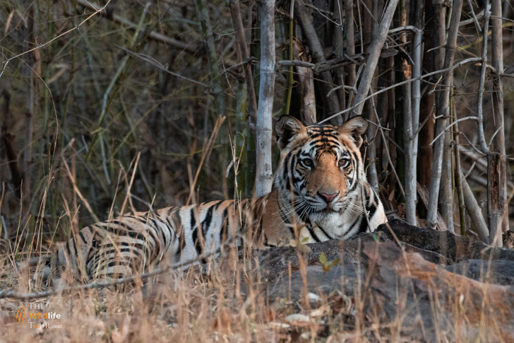Tiger Safari in India |  Wildlife Tour In India | Best time to see tigers in India | Best National Park in India | Best Wildlife Tour in India