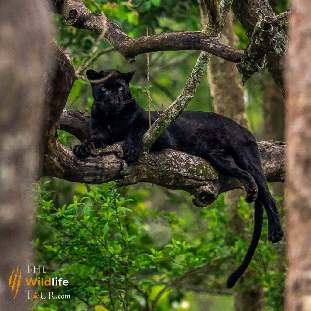 Wildlife Tour India | Tiger Safari India | Black Panther Tour India