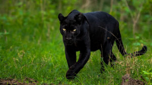 Black Panther Tour India | Black panther Tour packages