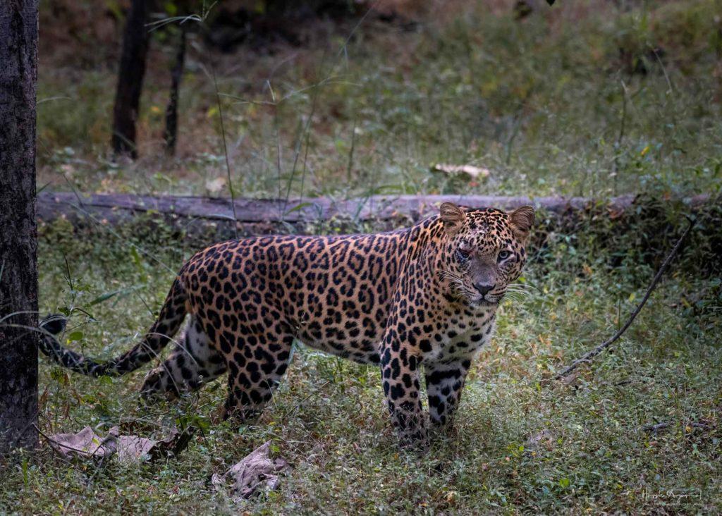 Tiger safaris in Kanha | Kanhar Tiger safari | Harsh Agarwal Photos | Harsh Travel photography