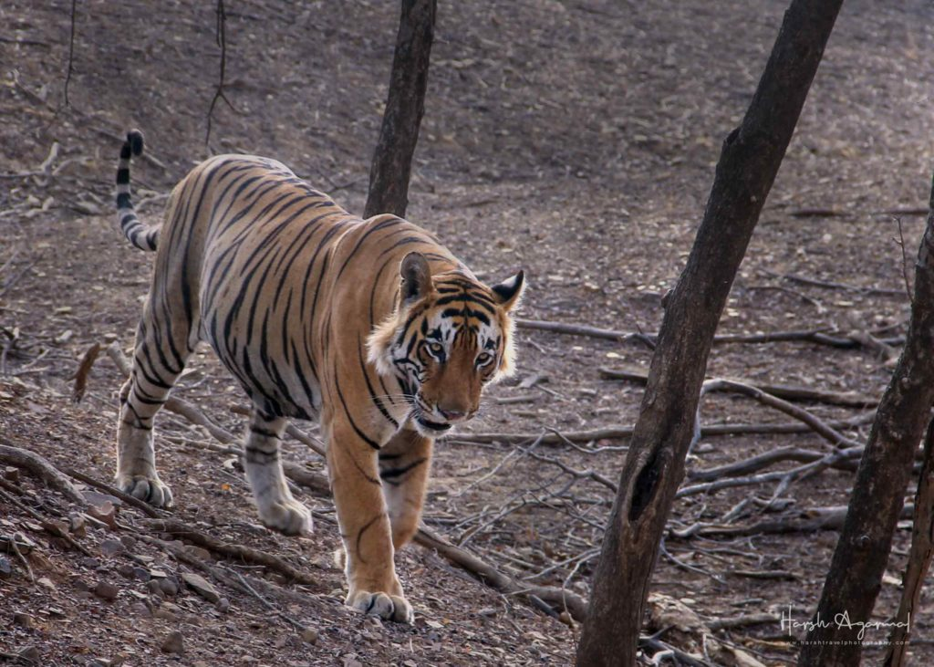 Tiger safari India | wildlife Tour India | wildlife safari India | Wildlife Photography Tour India