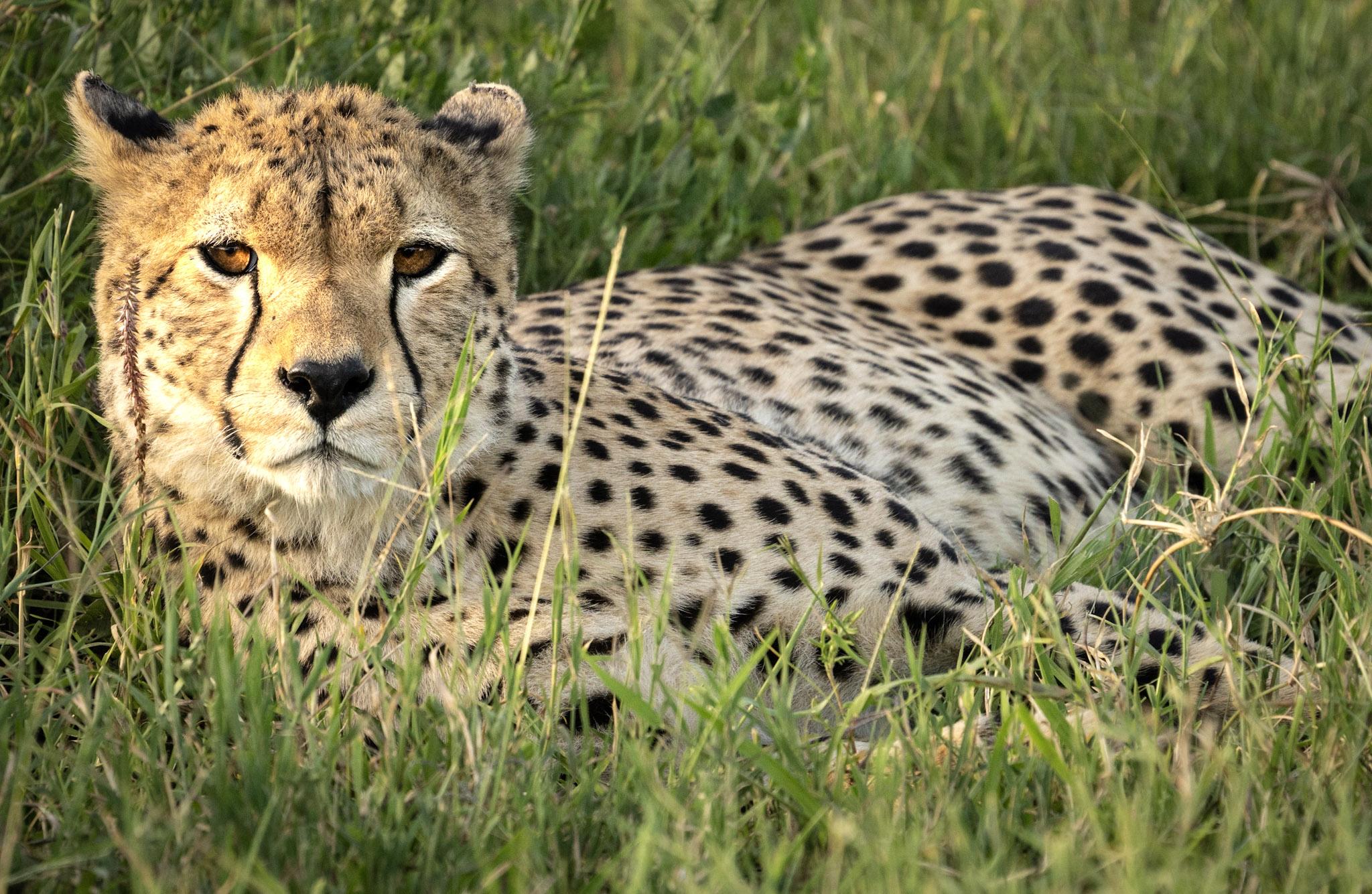 Cheetahs in India